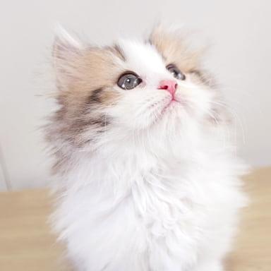 マンチカンの仔猫